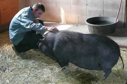 Daisy the Pig and 403 Other Animals Rescued from Fire by the SPCA